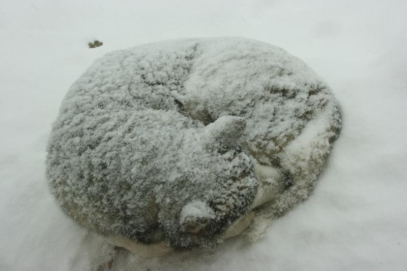 Alaszkai malamut